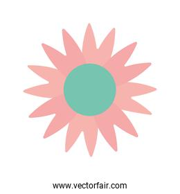 sunflower with a pink color on a white background
