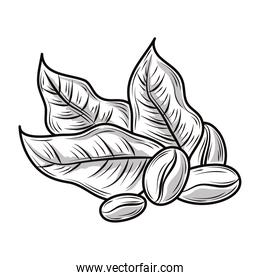 coffee beans leaves